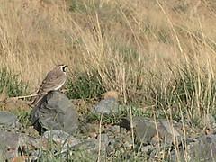 Horned Lark /   (Mehdi Kavousian) Tags: mountain bird iran  alborz  hornedlark  eremophilaalpestris eremophila  kahar   kaharmount above4000m birdwatchinglark