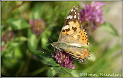 Distelvlinder, Painted lady, Vanessa cardui (Bram Reinders(on-off)) Tags: holland nature butterfly nederland thenetherlands natuur groningen tamron vlinder paintedlady tamron90mm appingedam mywinners tjamsweer sonyalpha350 explorewinnersoftheworld bramreinders