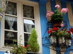 Des fleurs  la fentres (Michele*mp) Tags: flowers blue france window fleurs europe bleu normandie honfleur normandy fentre paysdauge calvados halftimbered colombages citrit michelemp