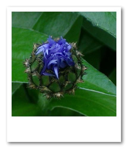 berg-flockenblume /Centaurea montana