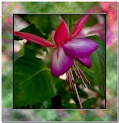 Fushia (MyRidgebacks - Sharon C Johnson) Tags: flowers mygarden fushia impressedbeauty crystalaward goldsealofquality myridgebacksphotography lizasenchantedgarden