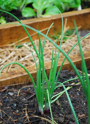 red scallions