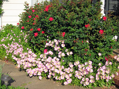 knockout roses and pink evening primrose