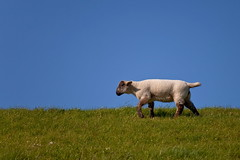 The Lamb on the Dike (g_heyde) Tags: germany lamb dyke dike elbe niedersachsen lamm elbdeich altenbruch vanagram 5dmkii