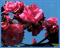oleander in  the sky (nungshardi) Tags: pink flower oleander