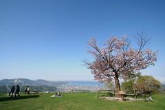 Tengu-Sakura   (mamako7070) Tags: cherry spring hokkaido  cherryblossom cherryblossoms otaru cherrytree gettyimages  tenguyama   mttengu  gettyimagessakura lonecherryblossomtree otarufan