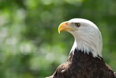 Bald eagle (***roham***) Tags: wild nature animal zoo nikon eagle baldeagle d200 greatervancouverzoo nikond200 wildphotography 400mmf35aisii nikon400mmf35ais