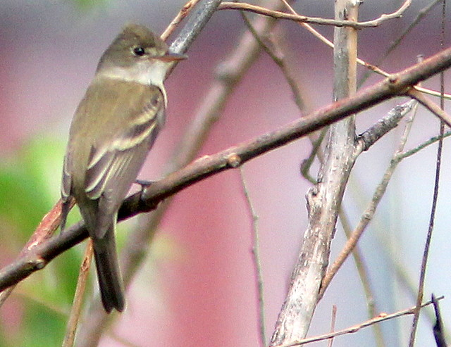 Willow Flycatcher 20110512
