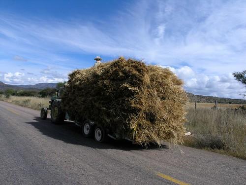 Transporting oats - Cargando avena; al sur de Suchil, Zacatecas, Mexico