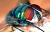 O retrato da mosca verde (cristianoguimaraes) Tags: olhão varejeira macromosca