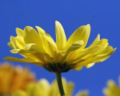 Weather Report: blue skies at last! (Mukumbura) Tags: blue sky flower macro weather yellow bouquet blueskiesatlast theunforgettablepictures awesomeblossoms sensationalphoto