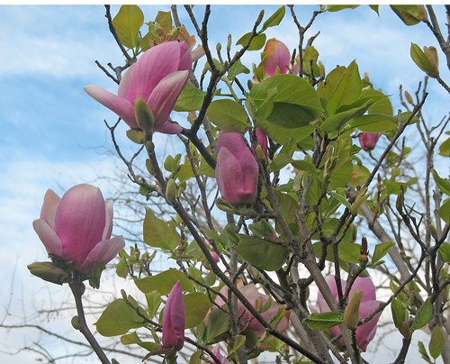 tulip magnolia blossoms against a winter sky of blue
