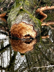 Tree Reflection (Little Boffin (PeterEdin)) Tags: wood plants lake plant reflection tree water ecology pool reflections lumix scotland rodent countryside pond log education edinburgh university branch perthshire roots beaver research perth stump gnaw teaching fiber botany edinburghuniversity treeroots castor universityofedinburgh perthandkinross panasoniclumix beaverdamage bamff toothmarks castorfiber dmctz3 tz3 panasonictz3 panasonicdmctz3 europeanbeaver theoldbrewhouse