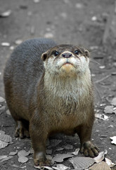 Otter (Dan Baillie) Tags: scotland searchthebest conservation otter portfolio animalplanet galloway dumfriesandgalloway puddock danbaillie vosplusbellesphotos bailliephotographycouk bailliephotography wigtownshirephotographer dumfriesandgallowayphotography