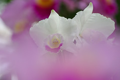 Cattleya (h orihashi) Tags: flowers flower macro nature japan pentax hiroshima 日本 花 soe breathtaking 風景 globalvillage nationalgeographic amazingcolors aphoto aclass 広島 peopleschoice naturesfinest blueribbonwinner supershot flowerotica flickrsbest bej fantasticflower fineartphotos golddragon perfectpetals mywinners abigfave diamondheart platinumphoto anawesomeshot impressedbeauty aplusphoto flickrhearts ultimateshot flickraward crystalaward k20d diamondclassphotographer flickrdiamond citrit excellentphotographerawards heartawards theunforgettablepictures diamondstars overtheexcellence colourartaward picturefantastic flickrsfantasticflowers macromarvels betterthangood justpentax everydayissunday theperfectphotographer awesomepictureaward cherryontopphotography pentaxk20d highqualityimages multimegashot rubyphotographer damniwishidtakenthat mikesdance photographersgonewild awesomeblossoms grouptripod anuniverseofflowers colorphotoawardpremier