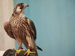 ( ) Tags: hunting falcon fav        goldstaraward grouptripod 7022009