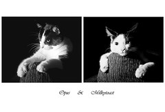 opus and milkytoast (unonymous) Tags: blackandwhite cats pets canon brothers lightroom speedlite gridspot strobist