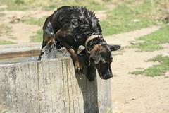 Putere Dog Trials 3 (starro_mania) Tags: newzealand dog water hawkesbay
