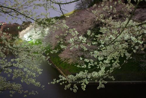 SAKURA (by HAMACHI!)