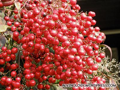 Berries growing in someones garden