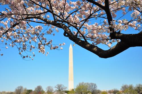 DC Cherry Blossom