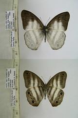 Pareuptychia metaleuca
