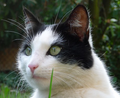 Tes yeux! (blogspfastatt (+2.500.000 views)) Tags: portrait cute beauty cat nice eyes chat flickr cut yeux gato felini katze kot regard kissa eyecatching enjoyinglife pfastatt blogspfastatt