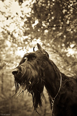 Max (T. Scott Carlisle) Tags: dog max giant big schnauzer tsc derrickwalker tphotographic tphotographiccom tscarlisle tscottcarlisle