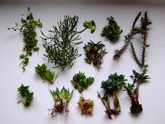 Succulent (Chrischang) Tags: