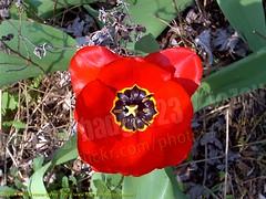 Tulipa ( Tulip ) 2004-04-17 003 Home-Spring (Badger 23 / jezevec) Tags: flower 2004 fleur spring blossom indianapolis flor indiana tulip bloom april  plantae blume fiore tulipa blooming bloem  liliaceae  20040417   liliales jezevec  kvt angiosperms monocots vbr  wabigon badger23 lilioideae