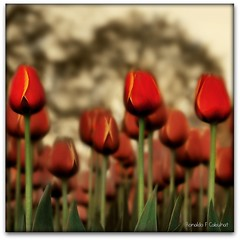 Hot Tulips (Ronaldo F Cabuhat) Tags: flowers red garden square spring tulips tulip redflowers washingtonpark redtulips pkchallenge hottulips albanynycabuhat