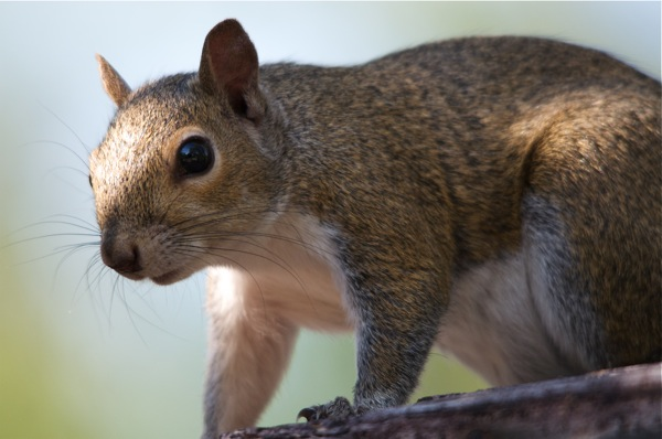 squirrel_0037