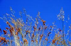 1987 Berlin Wiese (j.ardin) Tags: flowers sky grass weed meadow wiese himmel blumen bluesky gras