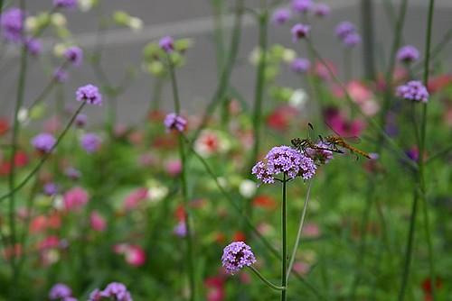 Sapporo Lavender Farm