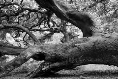 oo  939 (hotelyankeefoxtrot) Tags: california ca bw white black tree monochrome canon silver coast blackwhite los oak central lososos preserve slocounty baywoodpark oaktrees osos efex losososoaks canonrebelxti canon400d silverefex canon1635f28liiusm losososoakpreserve