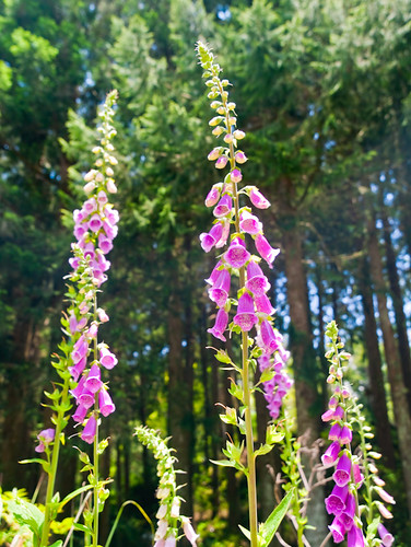 Common Foxglove 毛地黃