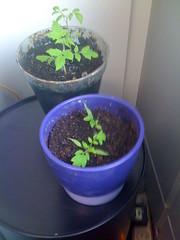 Plants de tomate #3