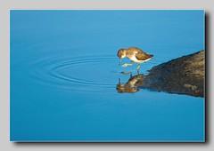 specchio d'acqua - piro piro piccolo (carlo.ghiani) Tags: colores colore nikon nikond80 carloghiani carlo d80 birdwatcher bird reflexions abigfave alemdagqualityonlyclub piropiropiccolo theunforgettablepictures flickrlovers uccellodellorso picturefantastic vosplusbellesphotos