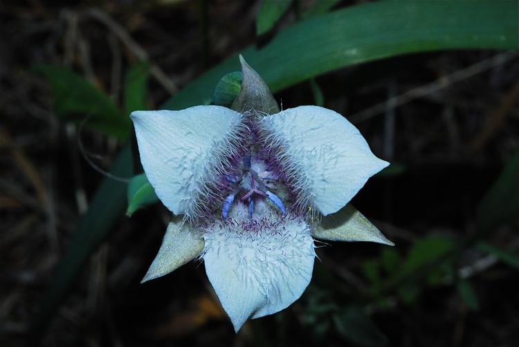 Elegant Mariposa Lily