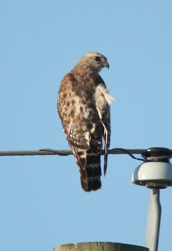 Hawk - 5/21/2009