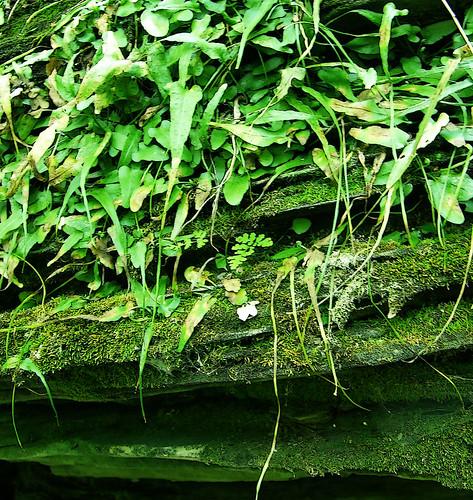 walking fern