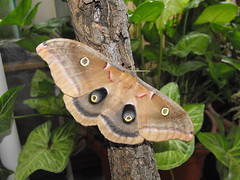 Polyphemus Moth Female (World Unity 9) Tags: giant silk insects lepidoptera moths worm polyphemus saturniidae