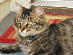 Gorgeous Guest (Fullofheart) Tags: beautiful cat bell tabby kitty fluffy friendly doormat affectionate doorstep purrfect furryfriends lovable irresistable notmycat catmodel outdoorkitty bestofcats furrificcats