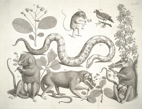 Albertus Seba - snakes and rat-like mammals