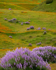 Hillside Lupine Dance