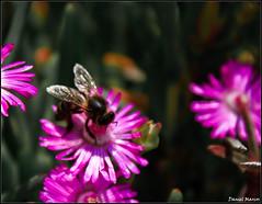 En busca del Polen Perdido I (DesiSence) Tags: parque del flor abeja mediterrneo ceuta martimo parquemartimodelmediterrneo