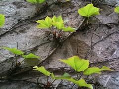 Seilschaft (imagirlfriday) Tags: wall hauswand ranken twines