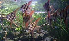 The Green Machine, UK. (Casa-Steve) Tags: ada aquascape tgm thegreenmachine natureaquarium ukaps