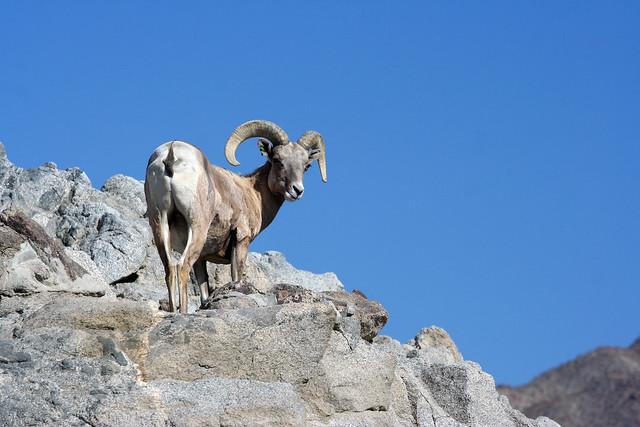 Peninsular Bighorn Sheep