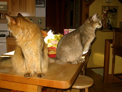 Horse & Blue, kitchen sentinals (Jagerbunny) Tags: somalicat bluesomali ruddysomali catnipaddicts